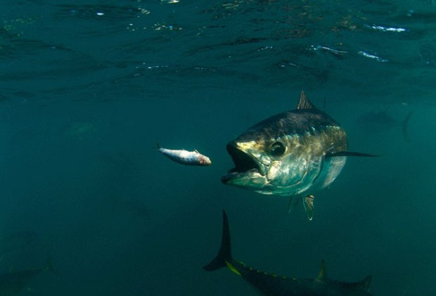 bluefin-tuna-feeding