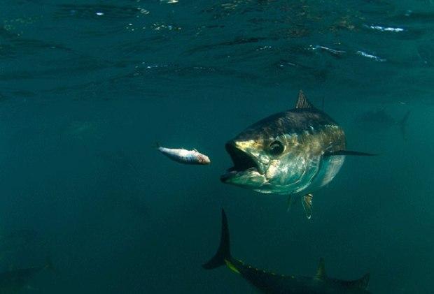 bluefin-tuna-feeding